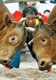 Tourada Coreana é entre touro